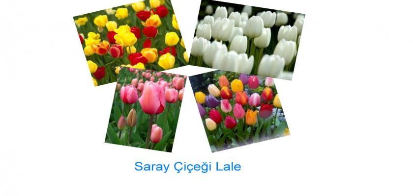 Bir Saray Çiçeği, Lale